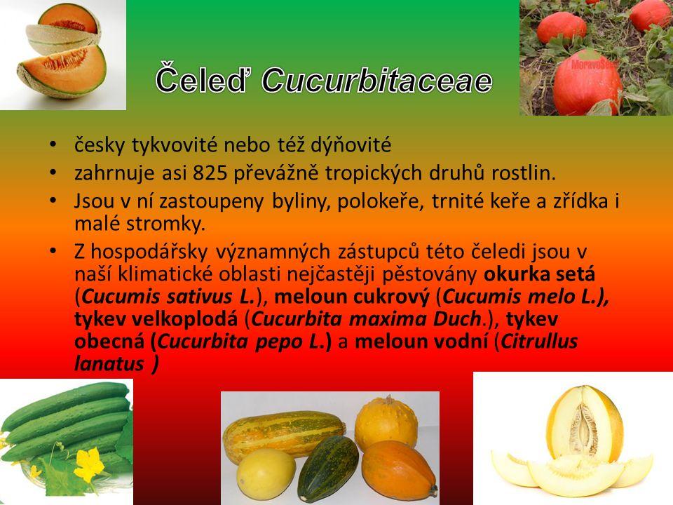 česky tykvovité nebo též dýňovité zahrnuje asi 825 převážně tropických druhů rostlin. Jsou v ní zastoupeny byliny, polokeře, trnité keře a zřídka i ma