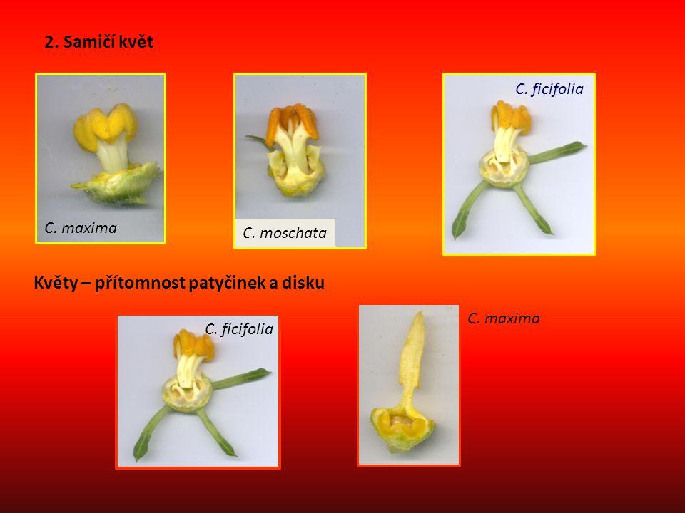 2. Samičí květ C. maxima C. moschata C. ficifolia Květy – přítomnost patyčinek a disku C. ficifolia C. maxima