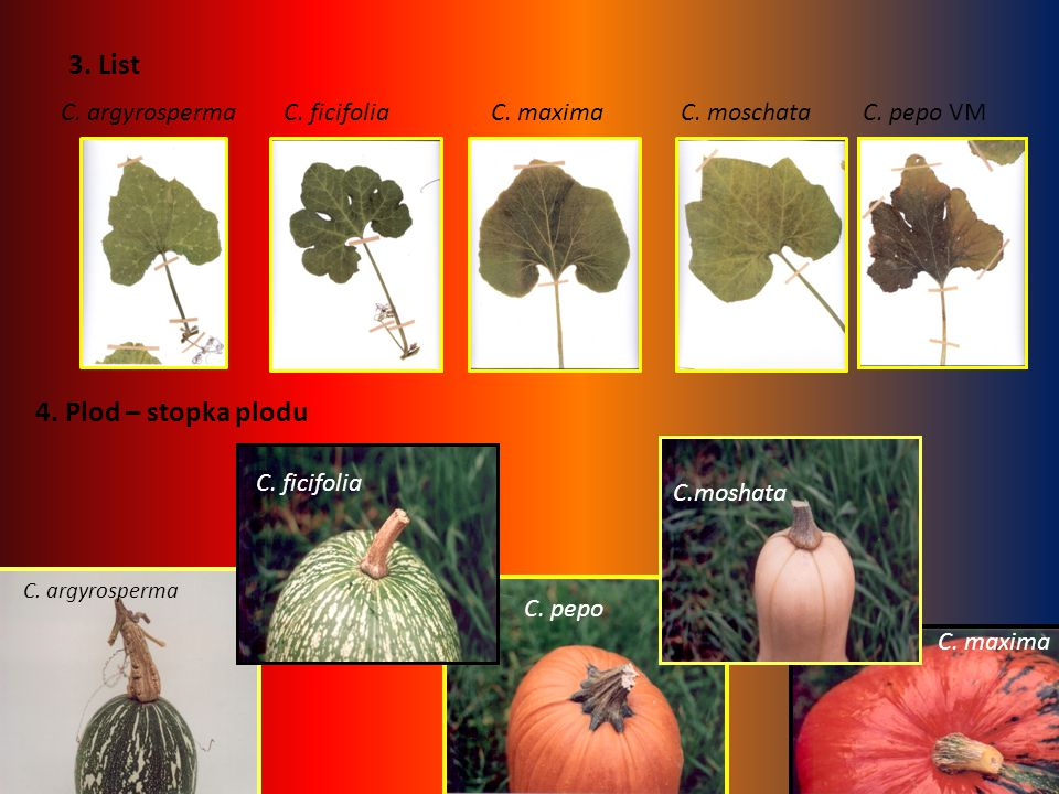 3. List C. argyrospermaC. ficifoliaC. maximaC. moschataC. pepo VM 4. Plod – stopka plodu C. argyrosperma C. pepo C. ficifolia C. maxima C.moshata