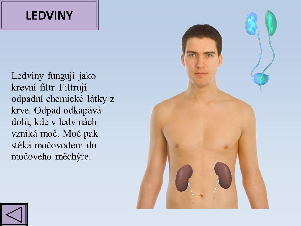 LEDVINY Ledviny fungují jako krevní filtr. Filtrují odpadní chemické látky z krve. Odpad odkapává dolů, kde v ledvinách vzniká moč. Moč pak stéká močo