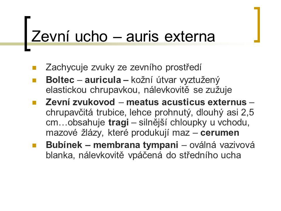 Zevní ucho – auris externa Zachycuje zvuky ze zevního prostředí Boltec – auricula – kožní útvar vyztužený elastickou chrupavkou, nálevkovitě se zužuje