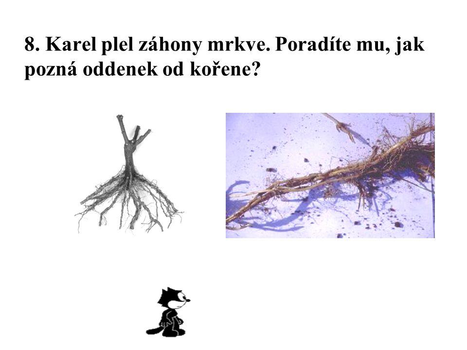 8. Karel plel záhony mrkve. Poradíte mu, jak pozná oddenek od kořene?