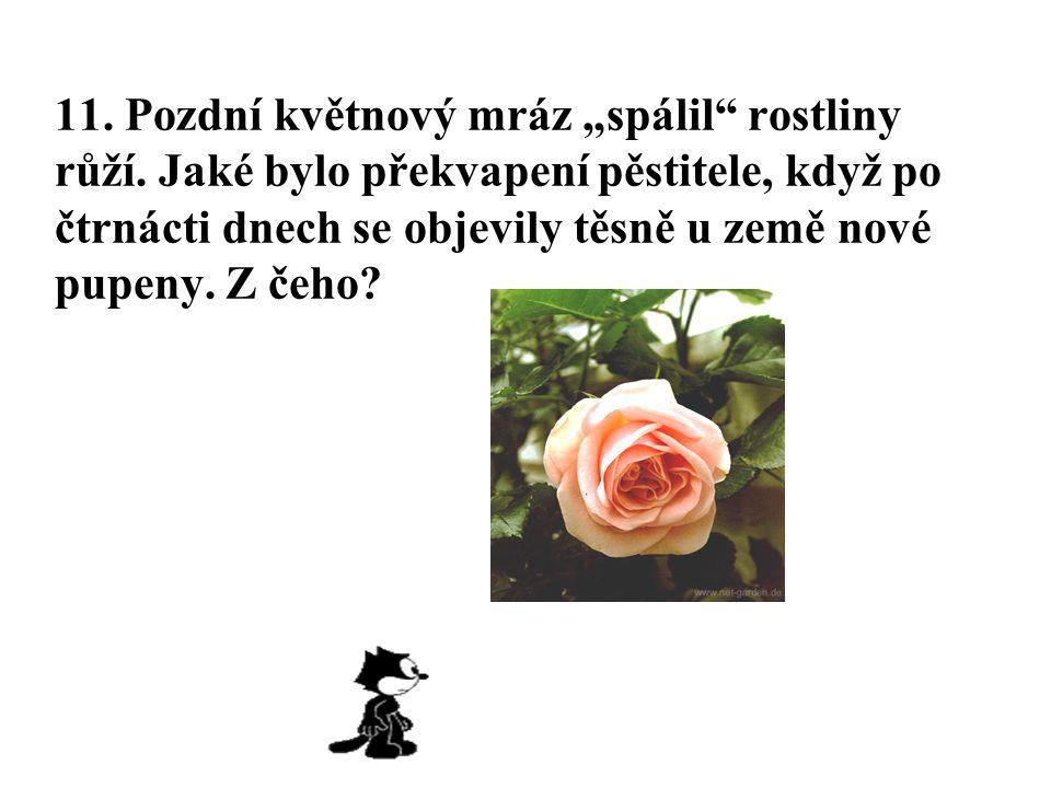 """11. Pozdní květnový mráz """"spálil"""" rostliny růží. Jaké bylo překvapení pěstitele, když po čtrnácti dnech se objevily těsně u země nové pupeny. Z čeho?"""