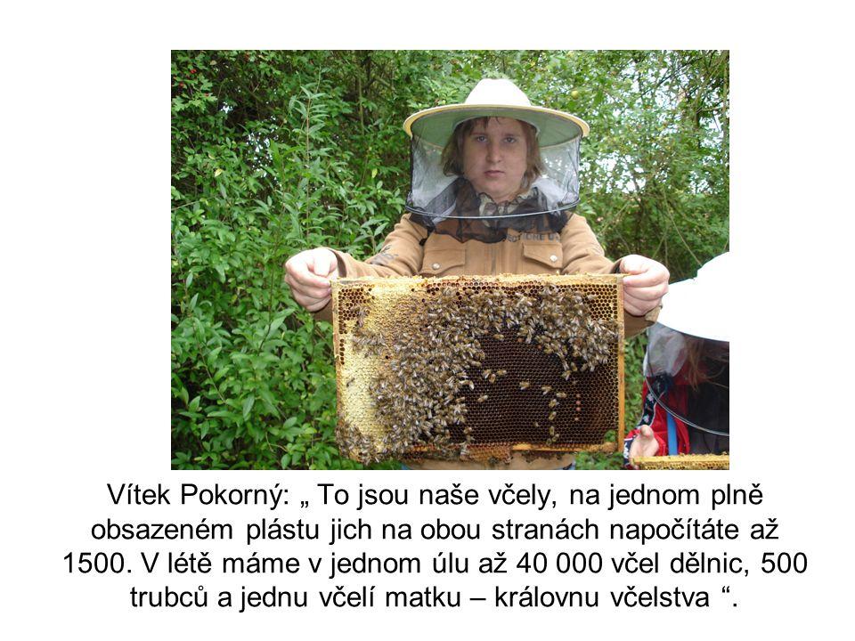 """Vítek Pokorný: """" To jsou naše včely, na jednom plně obsazeném plástu jich na obou stranách napočítáte až 1500. V létě máme v jednom úlu až 40 000 včel"""