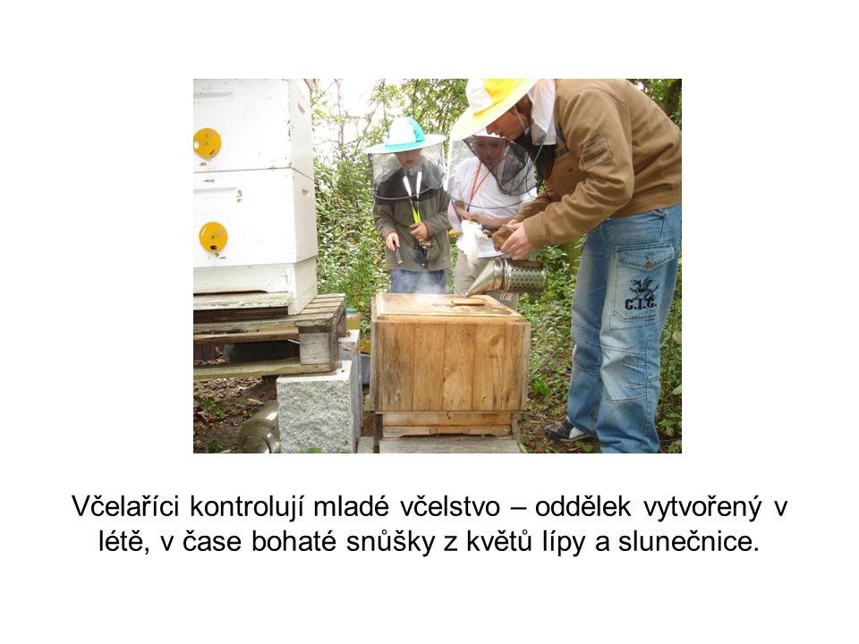 Včelaříci kontrolují mladé včelstvo – oddělek vytvořený v létě, v čase bohaté snůšky z květů lípy a slunečnice.