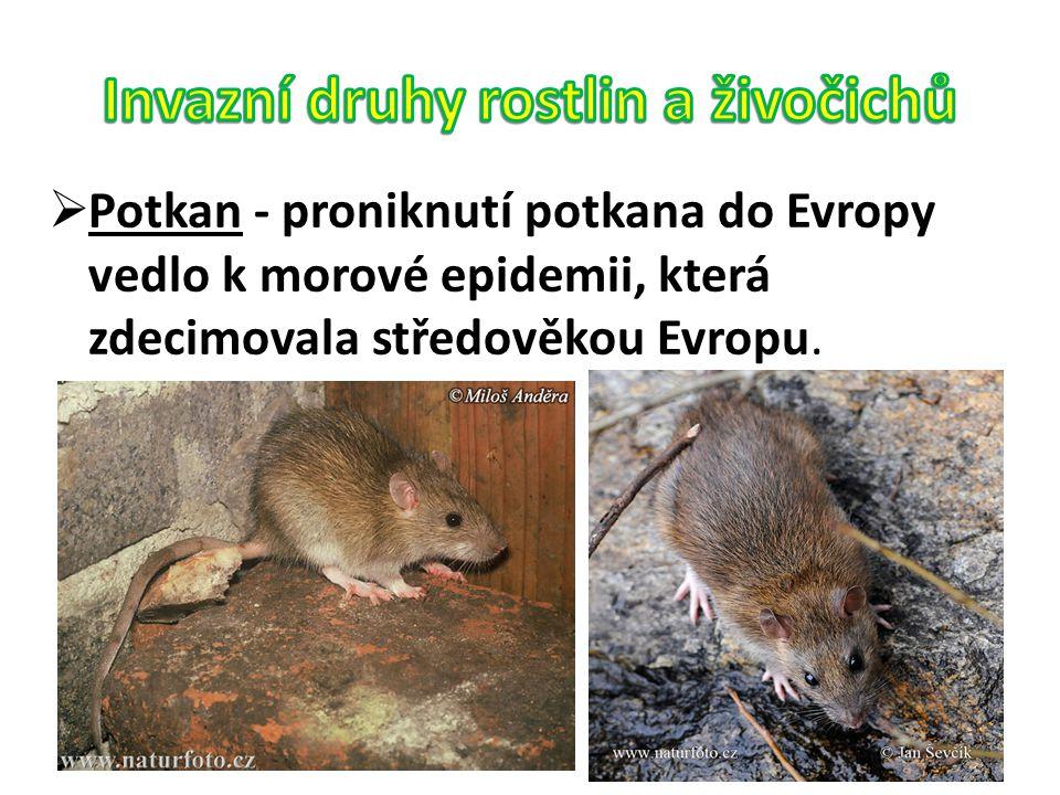  Potkan - proniknutí potkana do Evropy vedlo k morové epidemii, která zdecimovala středověkou Evropu.