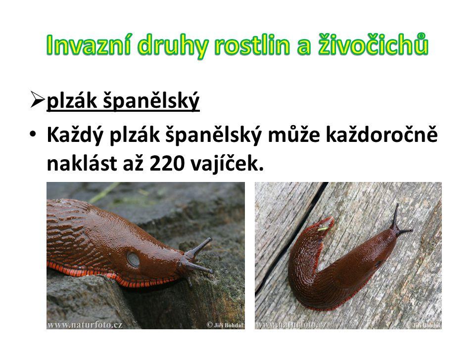  plzák španělský Každý plzák španělský může každoročně naklást až 220 vajíček.