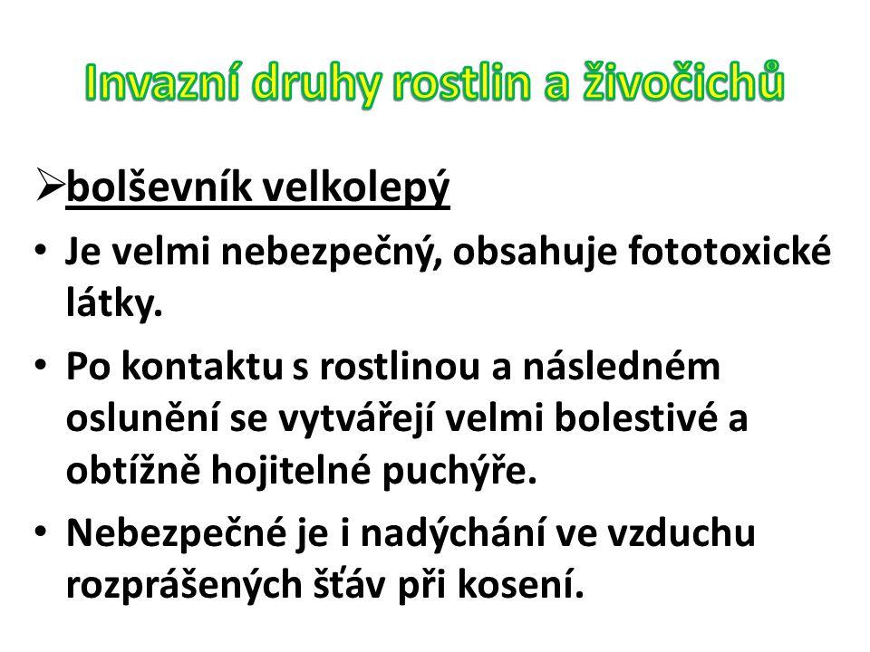  bolševník velkolepý Je velmi nebezpečný, obsahuje fototoxické látky. Po kontaktu s rostlinou a následném oslunění se vytvářejí velmi bolestivé a obt