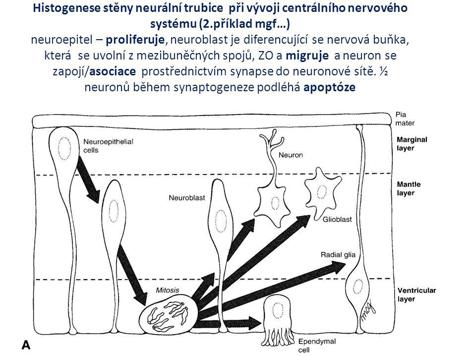 Embryologie – lékařský obor vývojové procesy, které se uplatňují v prenatálním období na vývoji struktury (morfogenese), orgánů (organogenese) mechanismus narušení vývoje (teratogenese), obor: teratologie jakýkoliv defekt ve vývoji má počátek ve významné odchylce funkce mgs a projeví se vždy narušením základních morfogenetických procesů