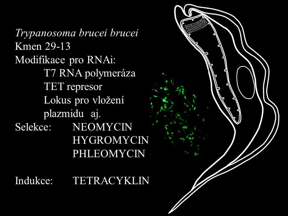 Trypanosoma brucei brucei Kmen 29-13 Modifikace pro RNAi: T7 RNA polymeráza TET represor Lokus pro vložení plazmidu aj. Selekce: NEOMYCIN HYGROMYCIN P