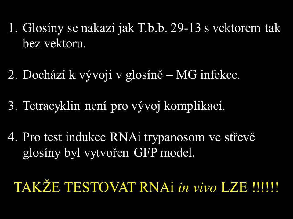 1.Glosíny se nakazí jak T.b.b. 29-13 s vektorem tak bez vektoru. 2.Dochází k vývoji v glosíně – MG infekce. 3.Tetracyklin není pro vývoj komplikací. 4