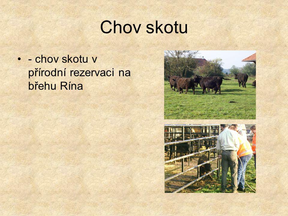 Chov skotu - chov skotu v přírodní rezervaci na břehu Rína
