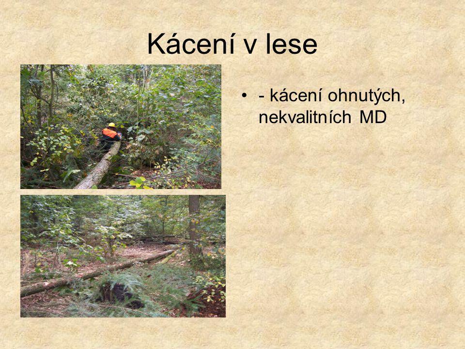 Kácení v parku - kácení DG z důvodu uvolnění místa pro rododendrony rostoucí pod porostem