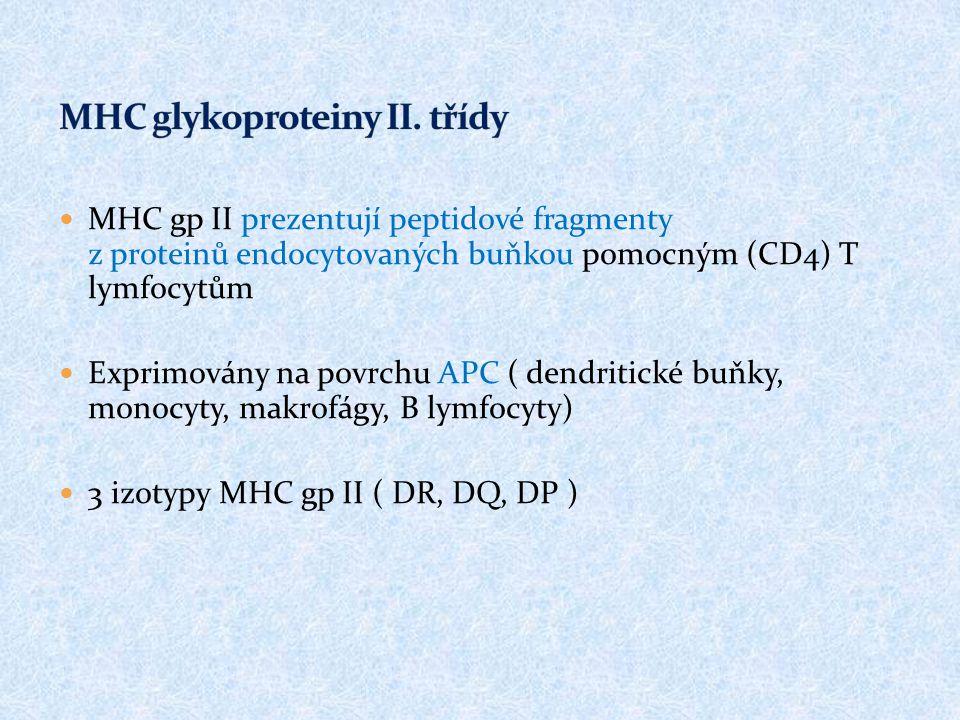 MHC gp II prezentují peptidové fragmenty z proteinů endocytovaných buňkou pomocným (CD4) T lymfocytům Exprimovány na povrchu APC ( dendritické buňky,