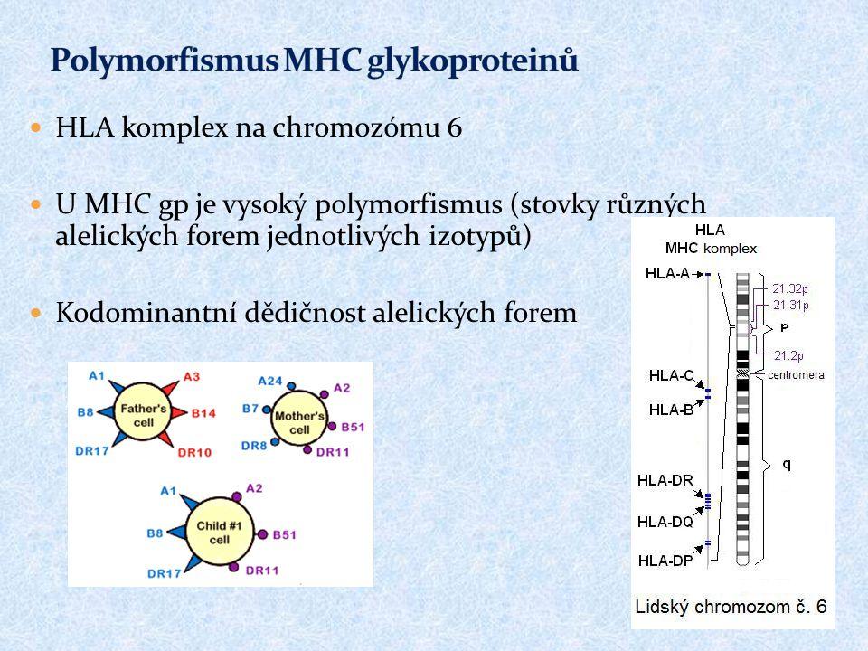 HLA komplex na chromozómu 6 U MHC gp je vysoký polymorfismus (stovky různých alelických forem jednotlivých izotypů) Kodominantní dědičnost alelických