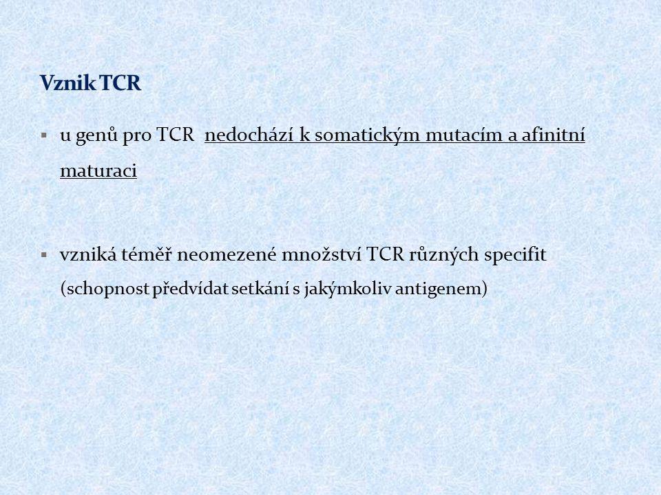  u genů pro TCR nedochází k somatickým mutacím a afinitní maturaci  vzniká téměř neomezené množství TCR různých specifit (schopnost předvídat setkán
