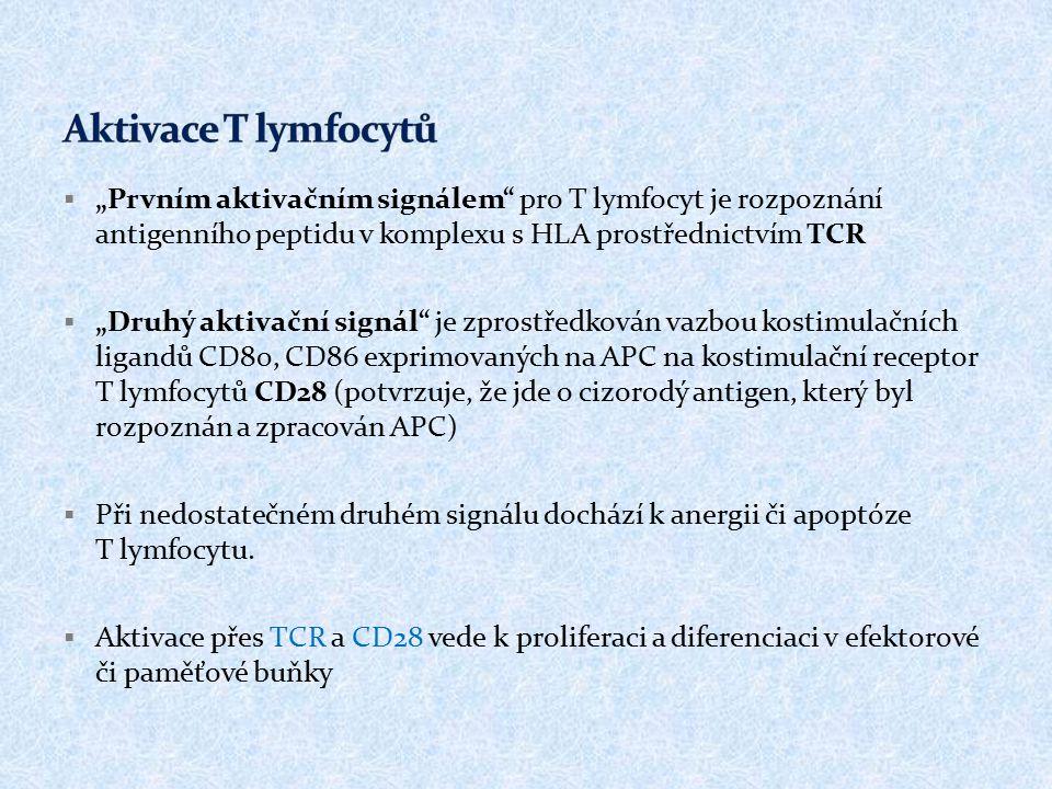 """ """"Prvním aktivačním signálem"""" pro T lymfocyt je rozpoznání antigenního peptidu v komplexu s HLA prostřednictvím TCR  """"Druhý aktivační signál"""" je zpr"""