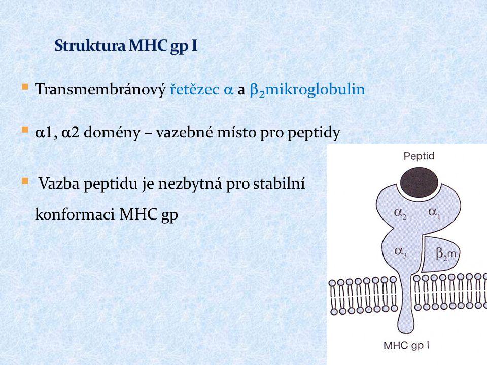  Transmembránový řetězec  a   mikroglobulin   domény  – vazebné místo pro peptidy  Vazba peptidu je nezbytná pro stabilní konformaci MHC