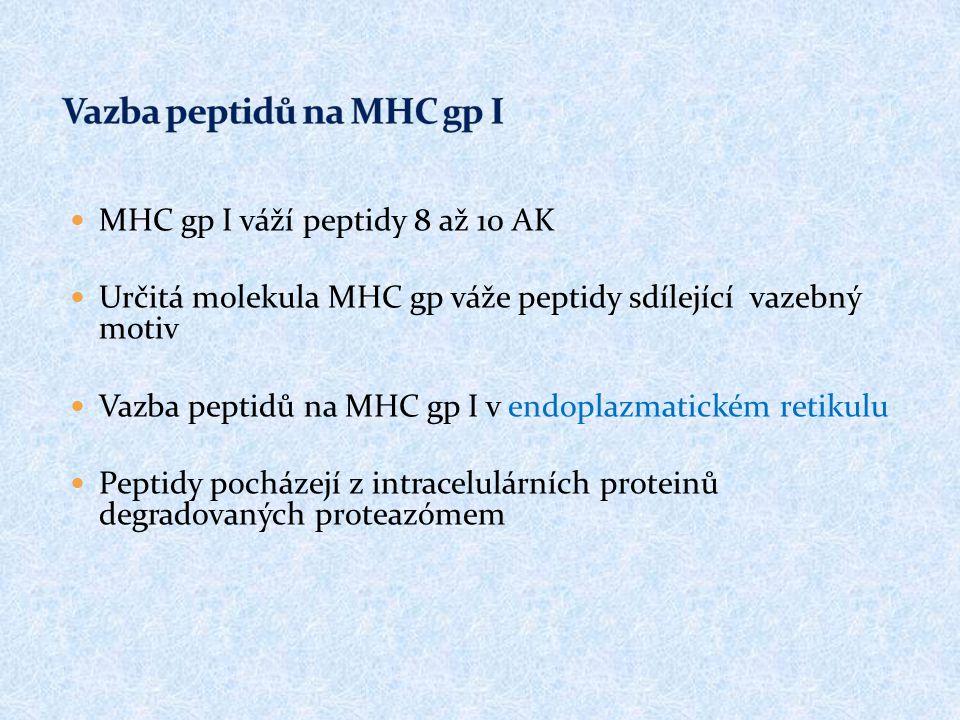 MHC gp I váží peptidy 8 až 10 AK Určitá molekula MHC gp váže peptidy sdílející vazebný motiv Vazba peptidů na MHC gp I v endoplazmatickém retikulu Pep