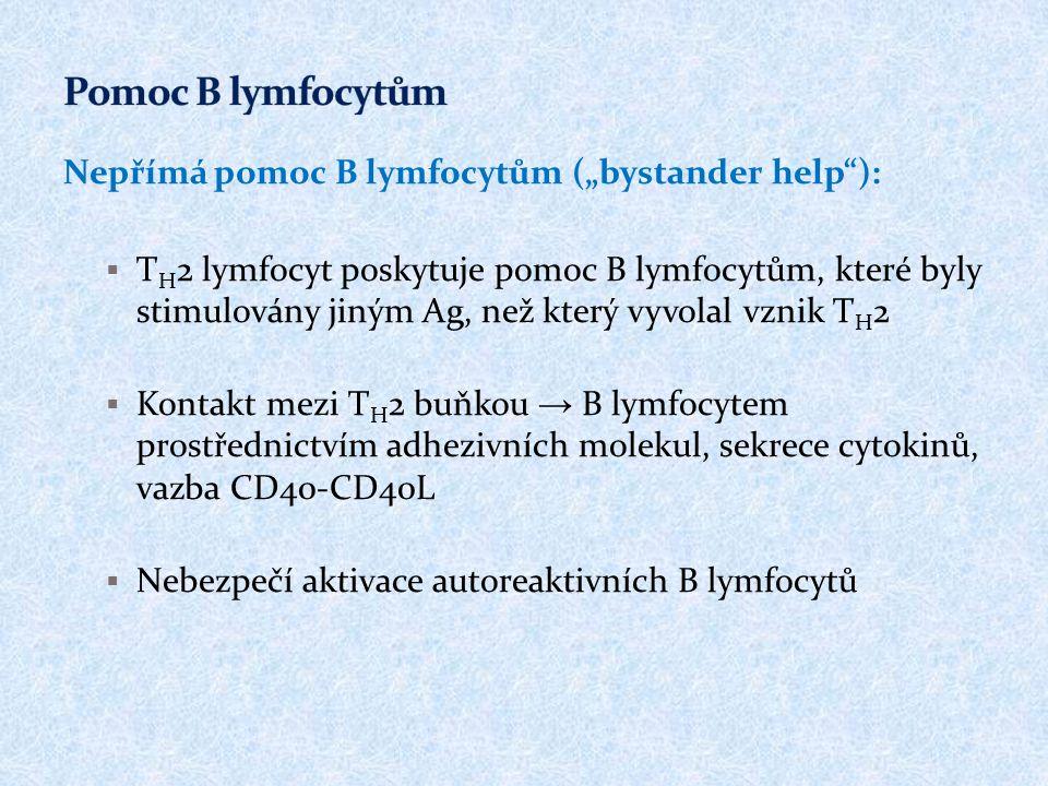 """Nepřímá pomoc B lymfocytům (""""bystander help""""):  T H 2 lymfocyt poskytuje pomoc B lymfocytům, které byly stimulovány jiným Ag, než který vyvolal vznik"""