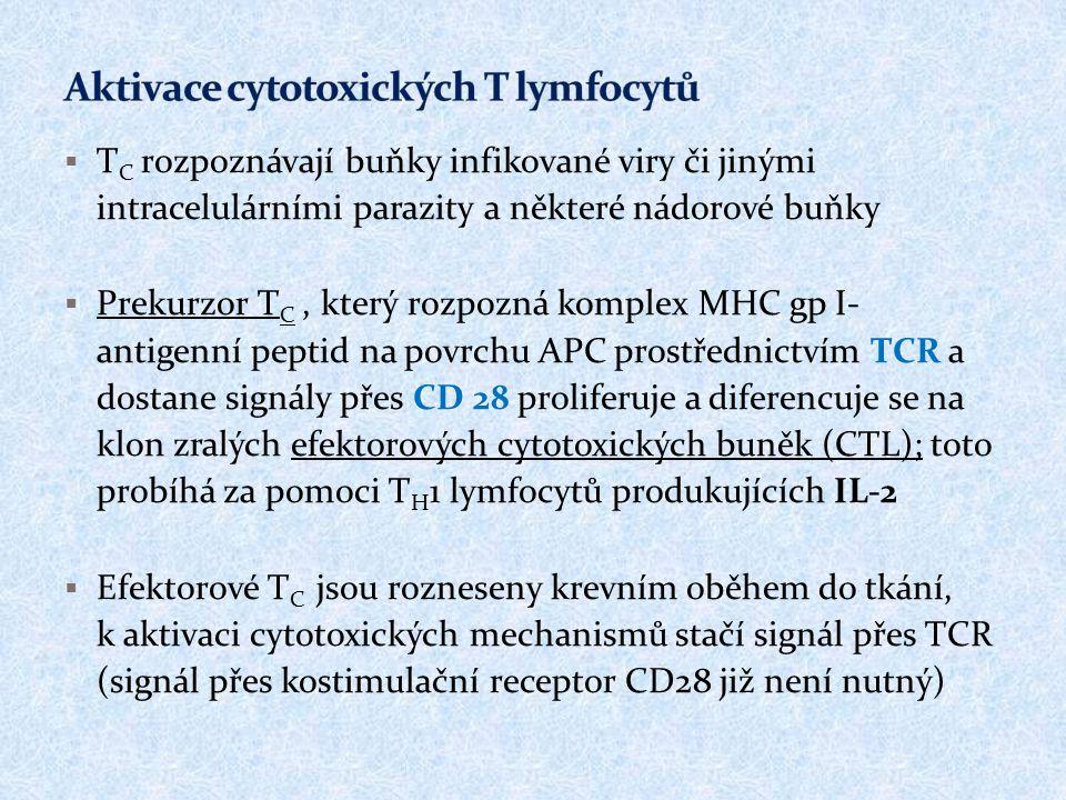  T C rozpoznávají buňky infikované viry či jinými intracelulárními parazity a některé nádorové buňky  Prekurzor T C, který rozpozná komplex MHC gp I