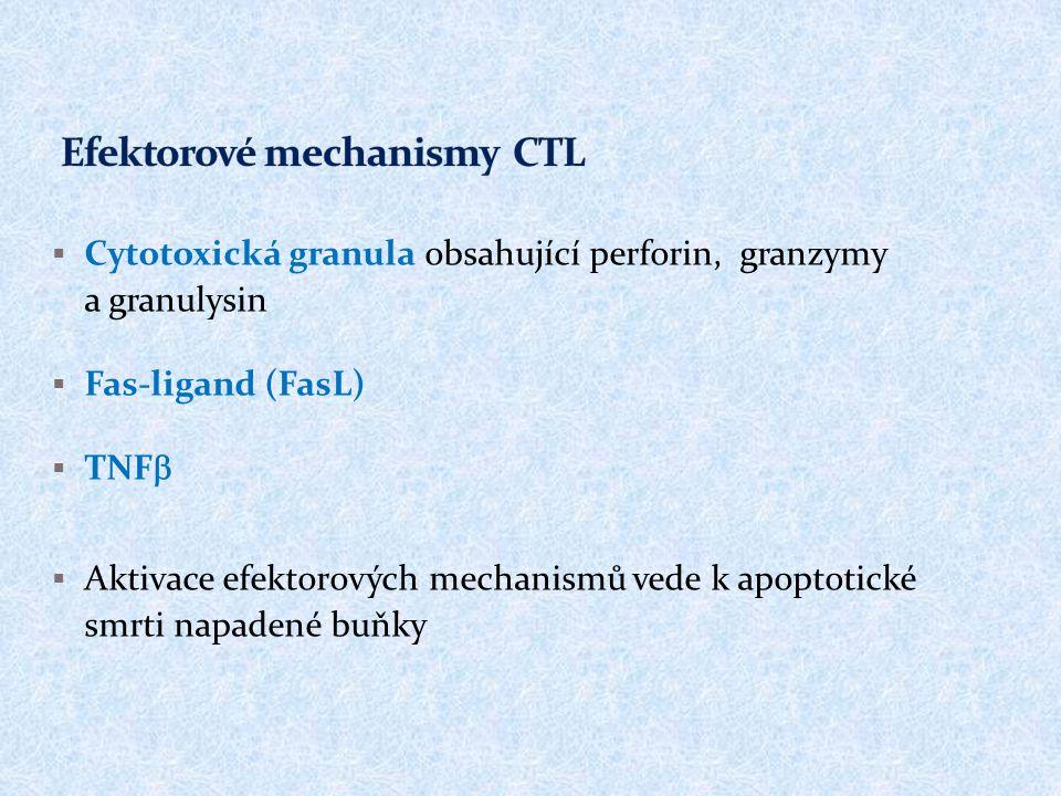  Cytotoxická granula obsahující perforin, granzymy a granulysin  Fas-ligand (FasL)  TNF   Aktivace efektorových mechanismů vede k apoptotické smr