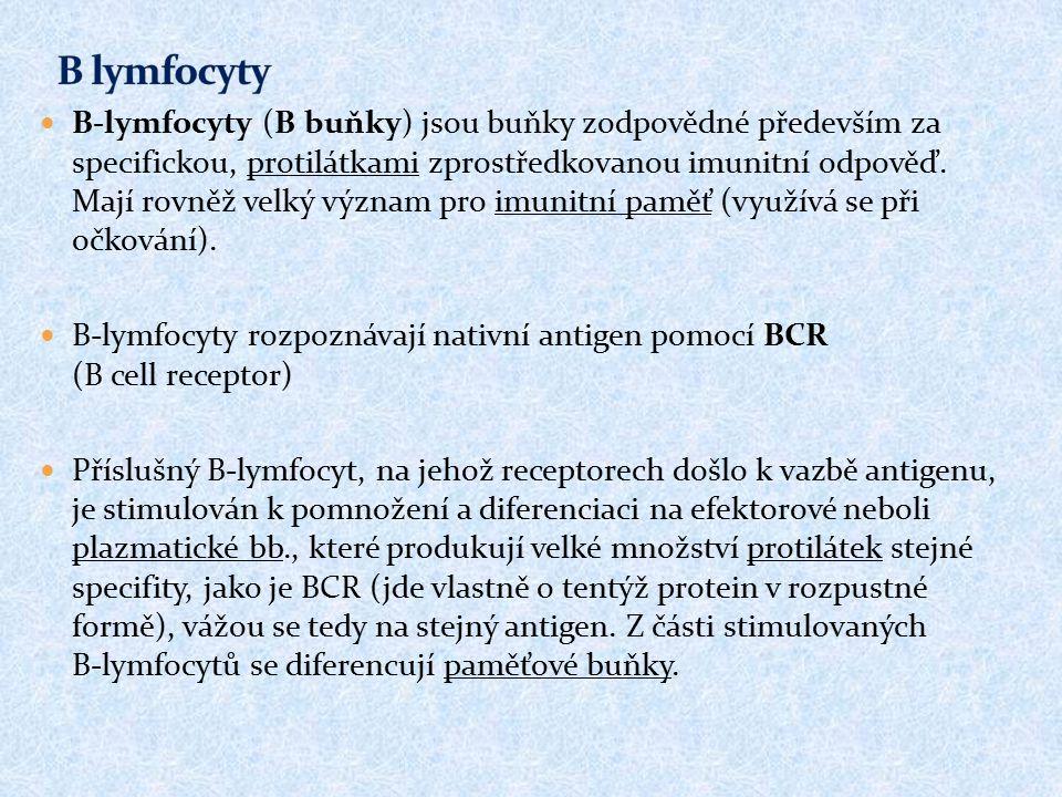 B-lymfocyty (B buňky) jsou buňky zodpovědné především za specifickou, protilátkami zprostředkovanou imunitní odpověď. Mají rovněž velký význam pro imu