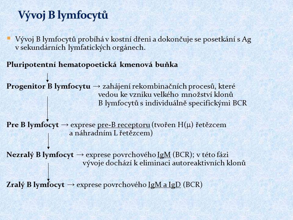  Vývoj B lymfocytů probíhá v kostní dřeni a dokončuje se posetkání s Ag v sekundárních lymfatických orgánech. Pluripotentní hematopoetická kmenová bu