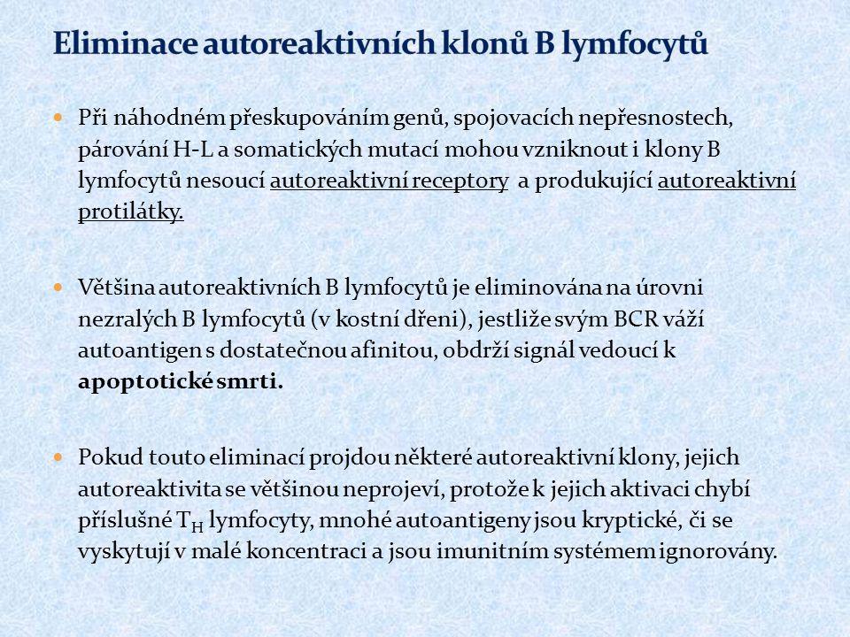 Při náhodném přeskupováním genů, spojovacích nepřesnostech, párování H-L a somatických mutací mohou vzniknout i klony B lymfocytů nesoucí autoreaktivn