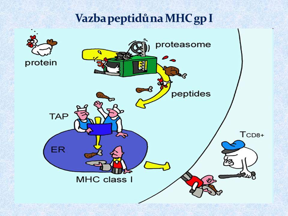 Základní funkcí T H 2 buněk je spolupráce s B lymfocyty (které byly stimulovány Ag) prostřednictvím cytokinů (IL-4, IL-5, IL-6, IL-10) a přímého mezibuněčného kontaktu  Pro stimulaci B lymfocytů je většinou potřeba spolupráce mezi APC → T H 2 buňkou → B lymfocytem  V případě tzv.