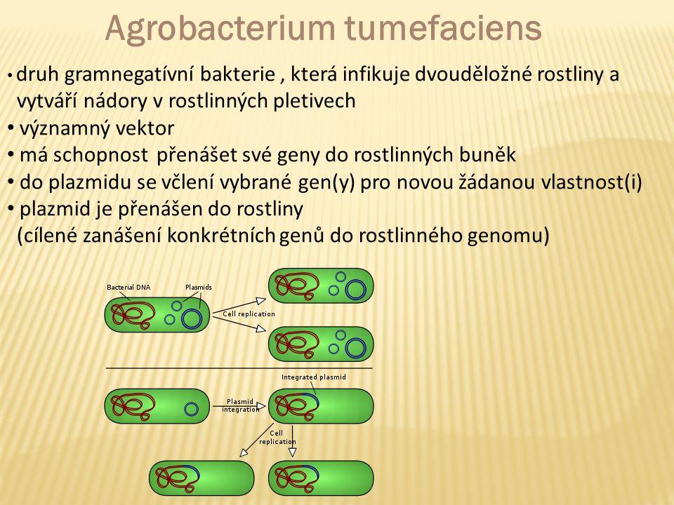 Agrobacterium tumefaciens druh gramnegatívní bakterie, která infikuje dvouděložné rostliny a vytváří nádory v rostlinných pletivech významný vektor má schopnost přenášet své geny do rostlinných buněk do plazmidu se včlení vybrané gen(y) pro novou žádanou vlastnost(i) plazmid je přenášen do rostliny (cílené zanášení konkrétních genů do rostlinného genomu)