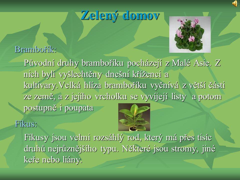 Zelený domov Brambořík: Původní druhy bramboříku pocházejí z Malé Asie. Z nich byli vyšlechtěny dnešní kříženci a kultivary.Velká hlíza bramboříku vyč