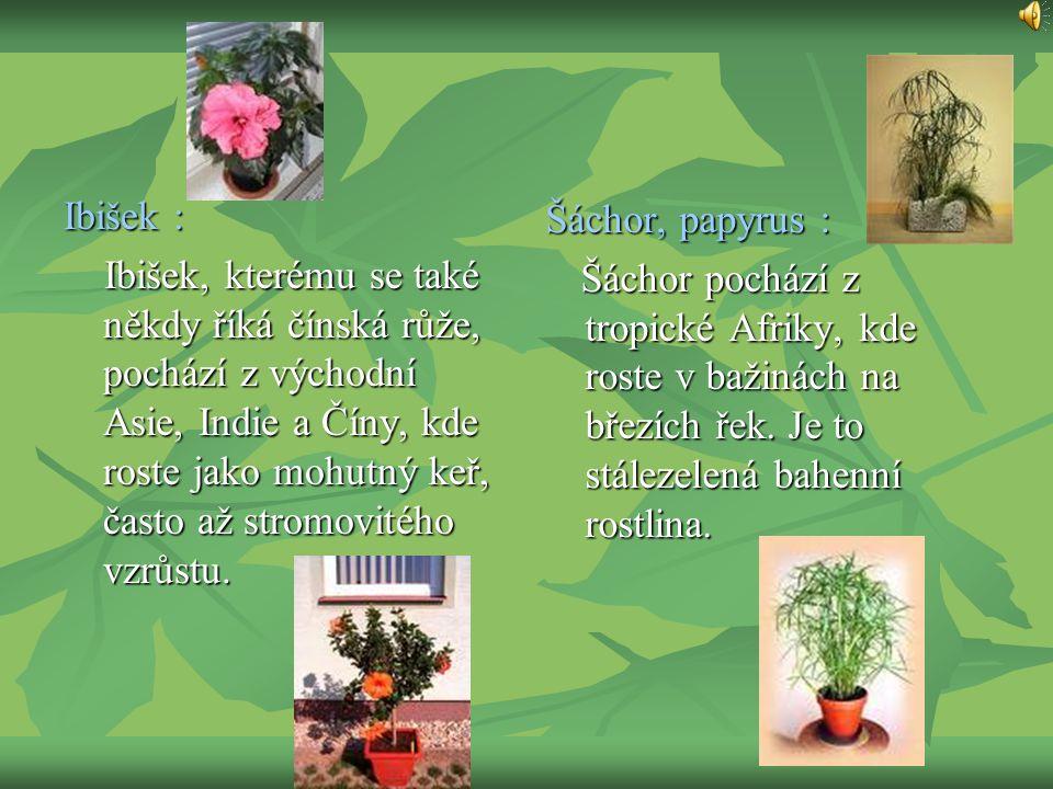 Ibišek : Ibišek, kterému se také někdy říká čínská růže, pochází z východní Asie, Indie a Číny, kde roste jako mohutný keř, často až stromovitého vzrů