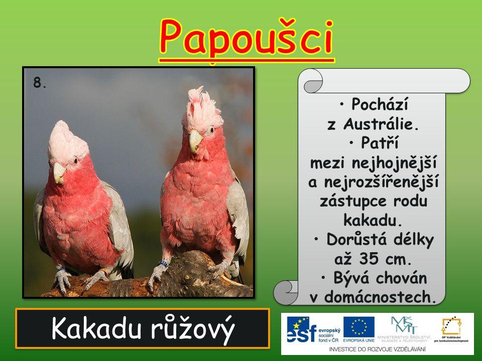 Kakadu růžový 8. Pochází z Austrálie. Patří mezi nejhojnější a nejrozšířenější zástupce rodu kakadu. Dorůstá délky až 35 cm. Bývá chován v domácnostec