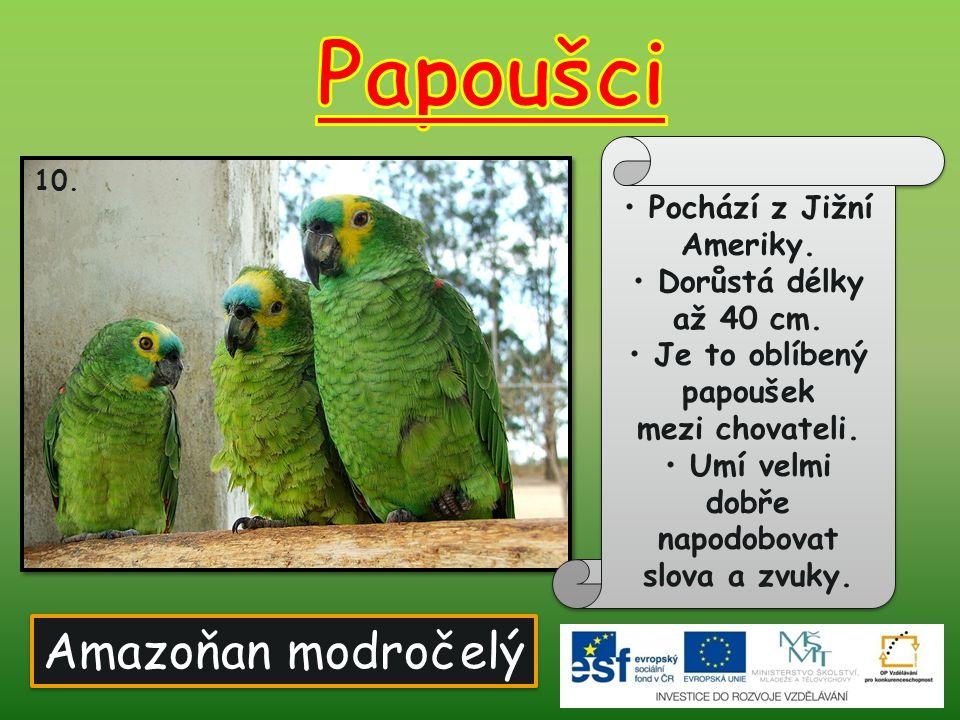 Amazoňan modročelý 10. Pochází z Jižní Ameriky. Dorůstá délky až 40 cm. Je to oblíbený papoušek mezi chovateli. Umí velmi dobře napodobovat slova a zv