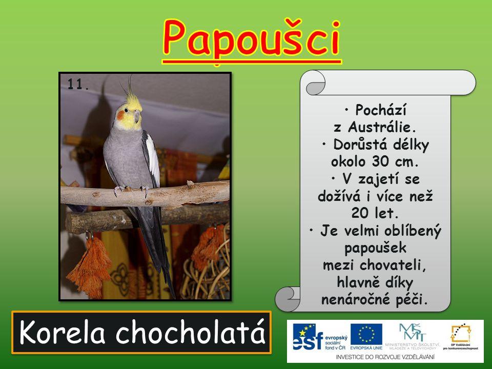 Korela chocholatá 11. Pochází z Austrálie. Dorůstá délky okolo 30 cm. V zajetí se dožívá i více než 20 let. Je velmi oblíbený papoušek mezi chovateli,