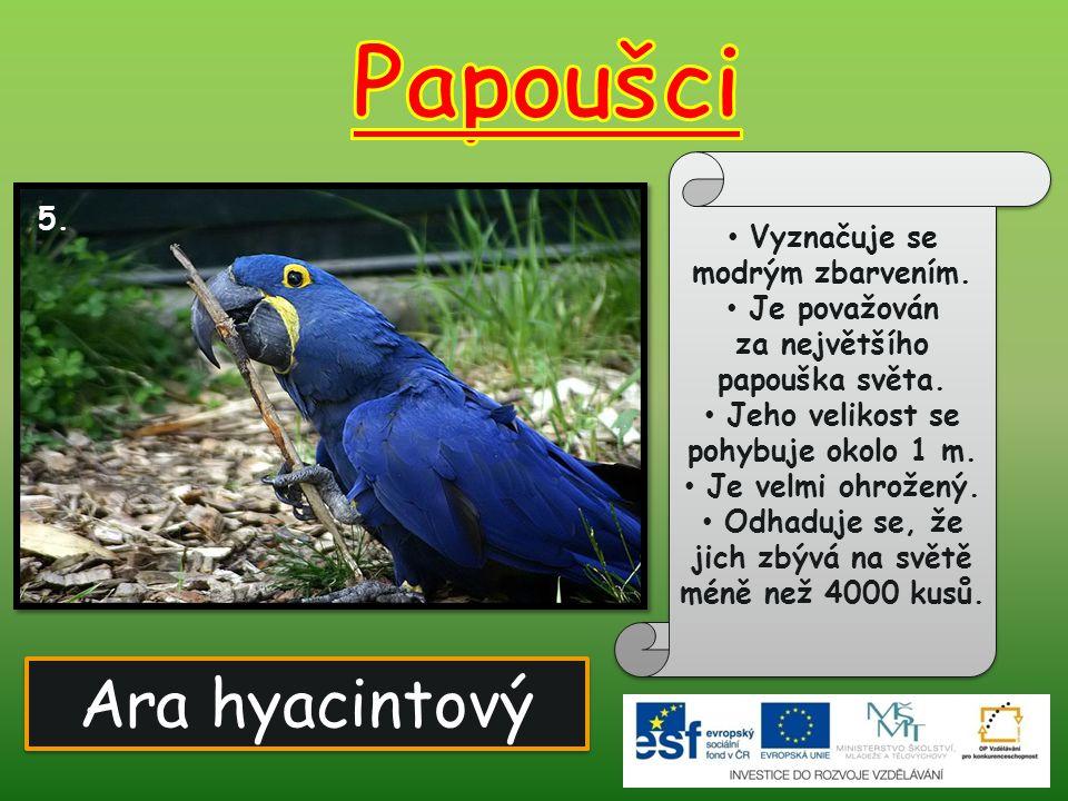 Ara hyacintový 5. Vyznačuje se modrým zbarvením. Je považován za největšího papouška světa. Jeho velikost se pohybuje okolo 1 m. Je velmi ohrožený. Od