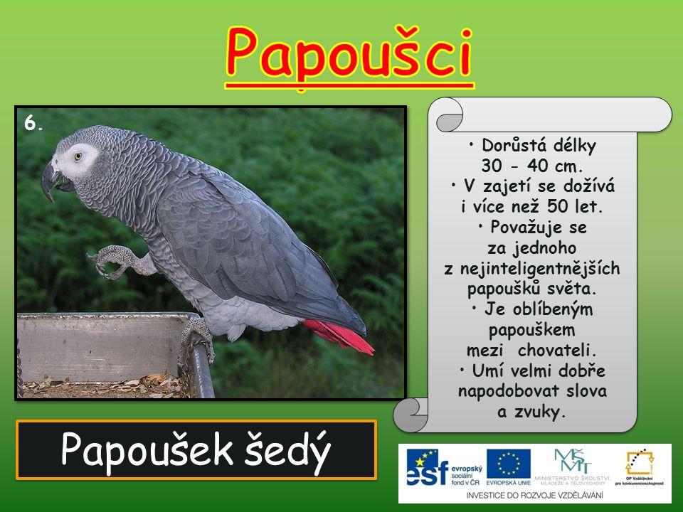 Papoušek šedý 6. Dorůstá délky 30 - 40 cm. V zajetí se dožívá i více než 50 let. Považuje se za jednoho z nejinteligentnějších papoušků světa. Je oblí