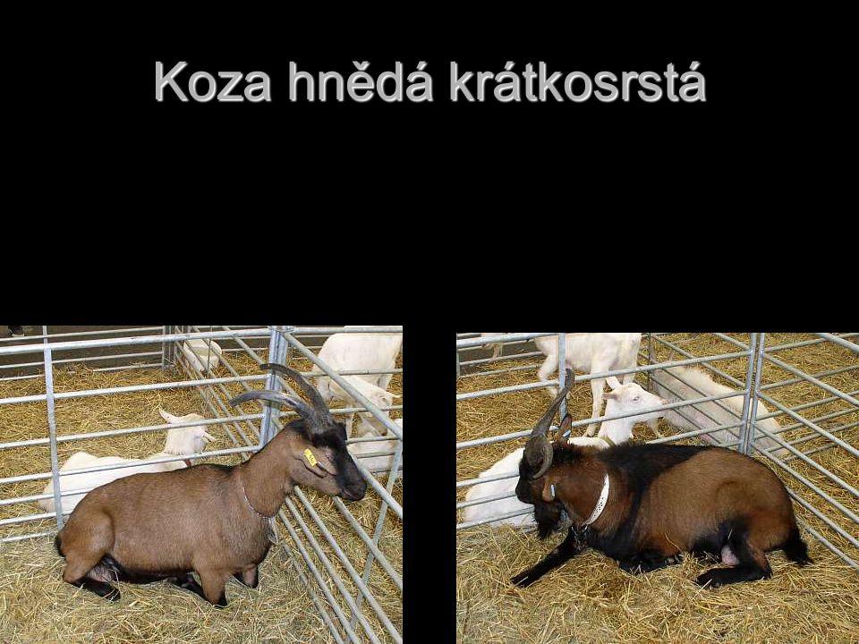 České plemeno, jenž vzniklo křížením původních strakatých a hnědých koz s kozly harckých plemen.