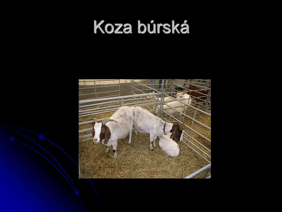 Toto plemeno bylo vyšlechtěno v jižní Africe z místních koz.