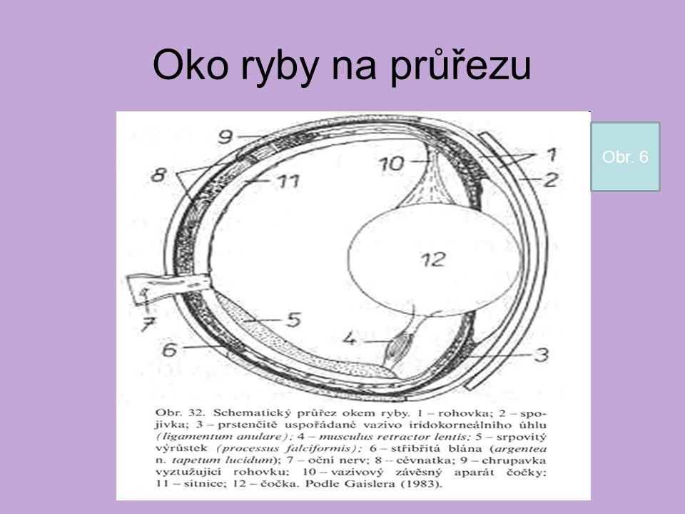 Oko ryby na průřezu Obr. 6