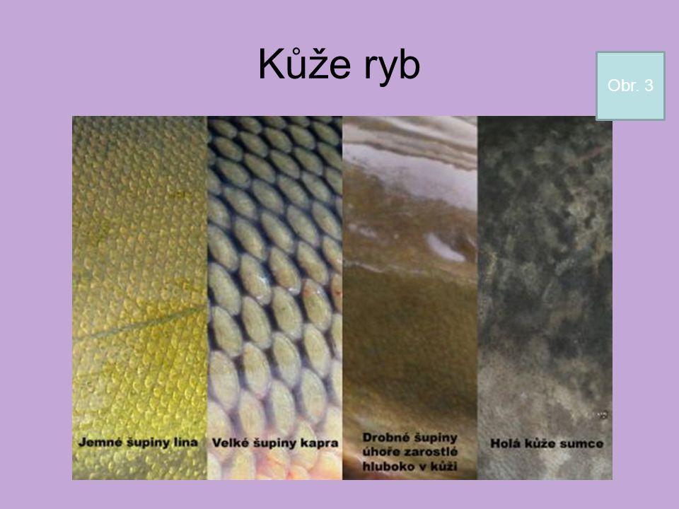 Kůže ryb Obr. 3