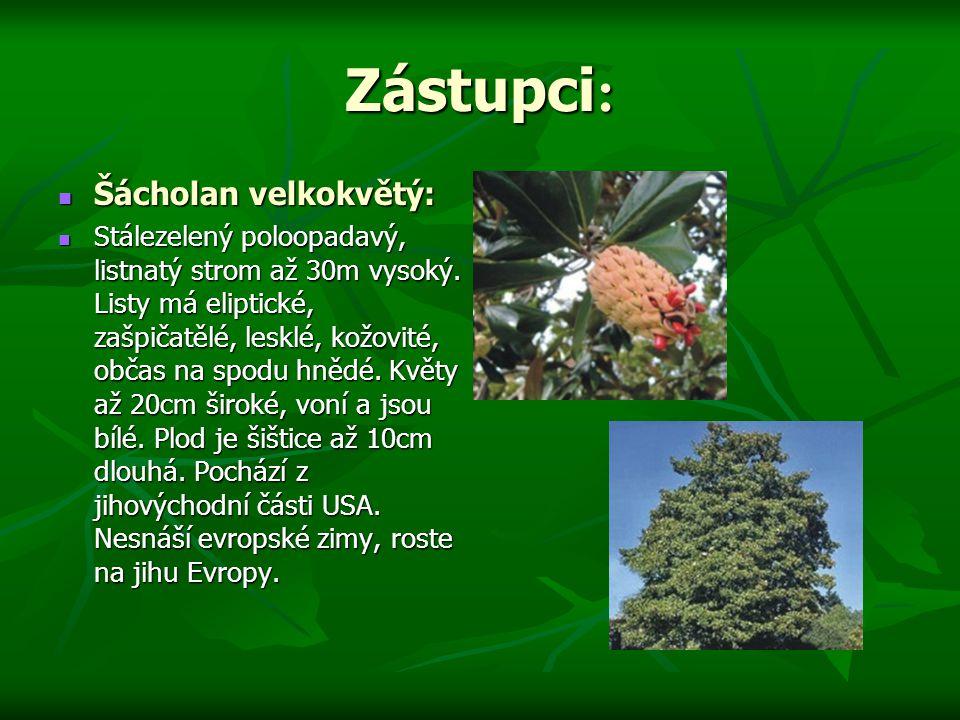 Zástupci : Šácholan velkokvětý: Šácholan velkokvětý: Stálezelený poloopadavý, listnatý strom až 30m vysoký.
