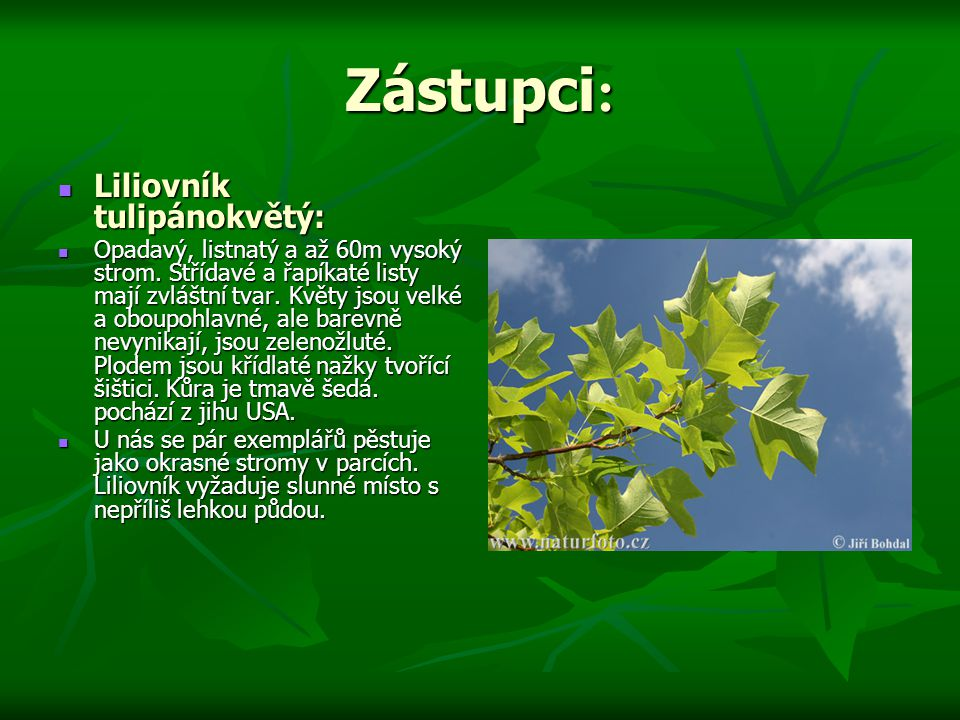 Zástupci : Liliovník tulipánokvětý: Liliovník tulipánokvětý: Opadavý, listnatý a až 60m vysoký strom.