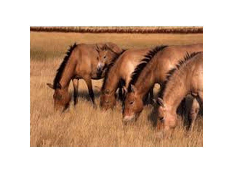 Kirgizský kůň Je to kůň jezdecký, soumarský i tažný má středně těžkou, rovnou hlavu a krátký, nízkonasazený krk.