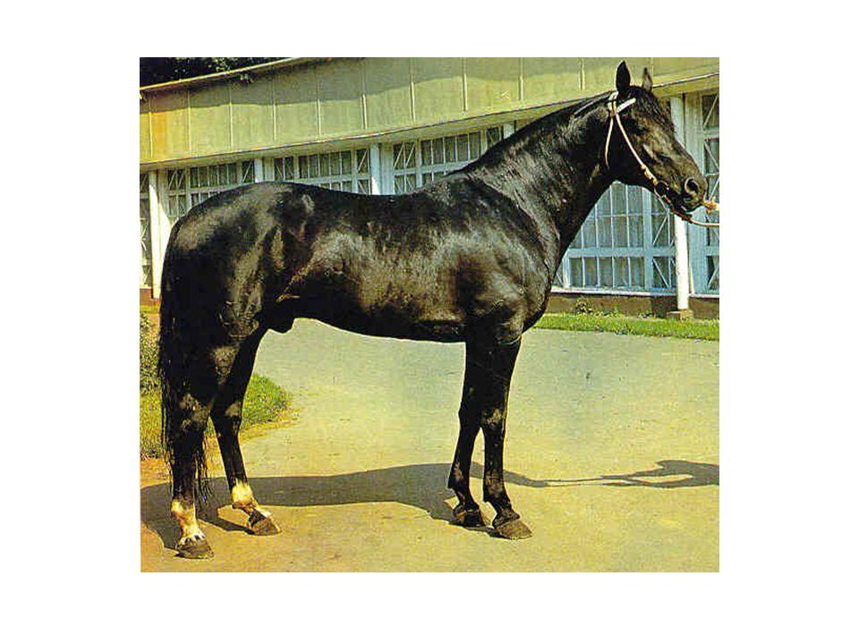 Baškirský kůň Již odedávna je chován na jižních svazích Uralu je zcela mimořádně otužilý, tvrdý kůň, který je vždy ochotný pracovat a má mírnou, přátelskou povahu.