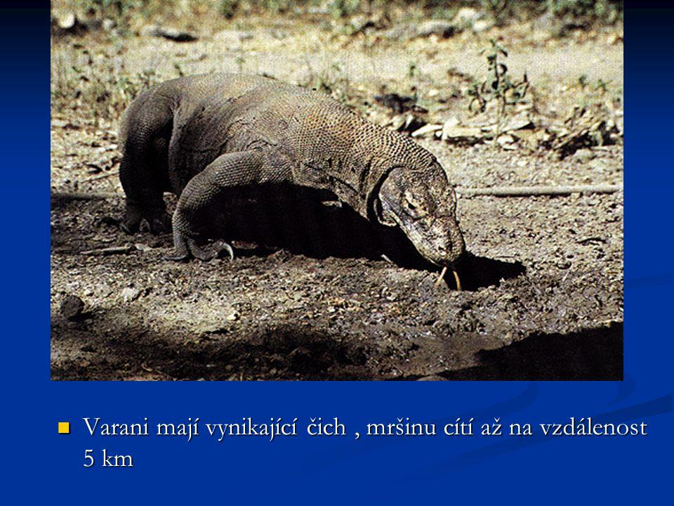 Varan komodský, neboli komodský drak, pochází z ostrova Komodo, který se nachází v Indonésii. Varani mají nejen dlouhý ocas a mohutné nohy s dlouhými