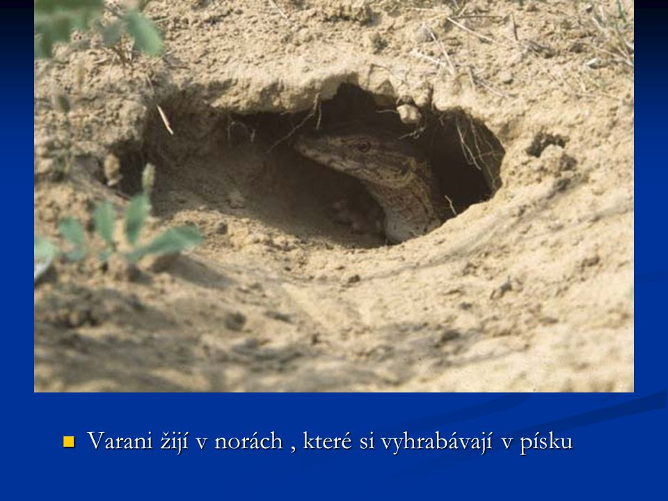Varani žijí v norách, které si vyhrabávají v písku