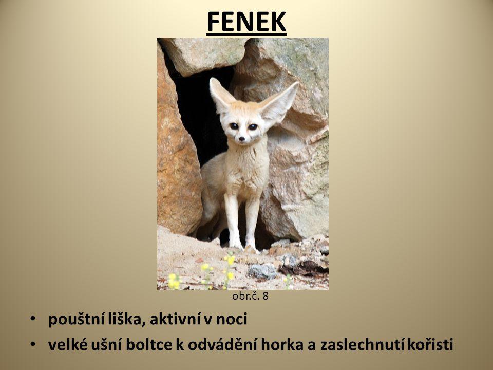 FENEK pouštní liška, aktivní v noci velké ušní boltce k odvádění horka a zaslechnutí kořisti obr.č. 8