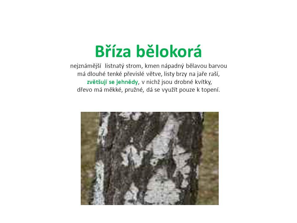 Bříza bělokorá nejznámější listnatý strom, kmen nápadný bělavou barvou má dlouhé tenké převislé větve, listy brzy na jaře raší, zvětšují se jehnědy, v